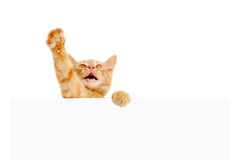 Kitten speaker holding blank banner Royalty Free Stock Image