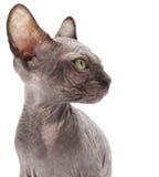 Kitten sphinx Stock Images