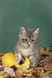 Kitten and squash in leaves. Stock Photo