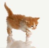 Kitten stalking. Kitten hunting - orange tabby kitten six weeks old Stock Photos