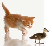 Kitten stalking a baby duck. Kitten stalking or hunting a baby duck isolated on white background royalty free stock image