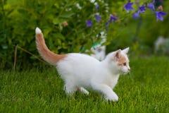 Kitten Stalking blanca y anaranjada linda a través de la hierba Fotos de archivo