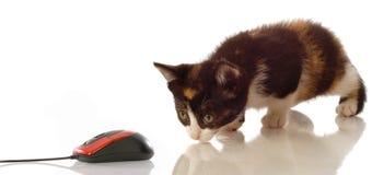 Kitten stalking computer mouse stock photo