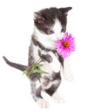 Kitten Stand And Hold Flowers Royalty Free Stock Photos