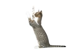 Kitten standing. Moggy kitten standing on back legs with paws up on white background Stock Photos