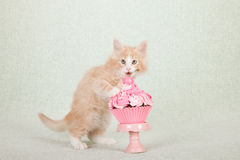 Kitten standing on hind legs licking pink cupcake Royalty Free Stock Photo
