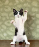 Kitten Standing on Hind Legs Waving Stock Photos