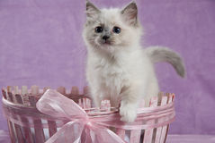 Kitten standing up in pink basket. Ragdoll standing up in pink basket, showing off tail and white paw Royalty Free Stock Photo