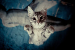 Kitten stands with her paws up Royalty Free Stock Images