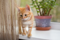 Kitten stands on the windowsill Stock Images
