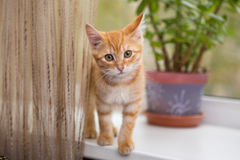 Kitten stands on the windowsill Royalty Free Stock Images