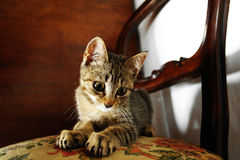 Kitten staring at the camera. On a chair Stock Photos