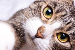 The kitten is staring, close up,. The kitten is staring,yellow green eyes and cats nose Royalty Free Stock Photo