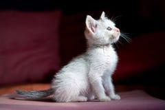 Kitten staring at the light Stock Photo