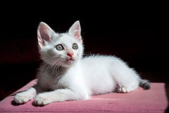 Kitten staring at the light Royalty Free Stock Images