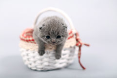 Kitten staying in a basket Stock Image