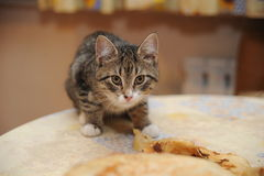Kitten steals food Stock Image