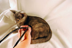 Kitten and stethescope. Kitten with fur, fangs, claws and ears and stethescope Royalty Free Stock Photo