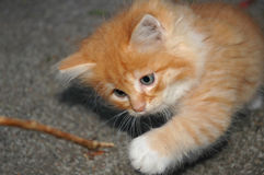 Kitten stick Royalty Free Stock Photography