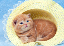 Kitten in the straw hat. Little kitten sitting in the straw hat royalty free stock image