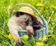 Kitten with straw heat on the head sitting in a basket. Little kitten with straw heat on the head sitting in a basket on dandelion lawn Royalty Free Stock Images