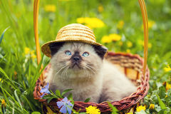 Kitten with straw heat sitting in a basket. Little siamese kitten with straw heat on the head sitting in a basket Stock Photos