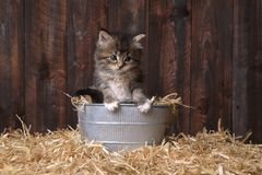 Kitten With Straw sveglia in un granaio fotografia stock