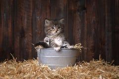 Kitten With Straw sveglia in un granaio Immagine Stock Libera da Diritti