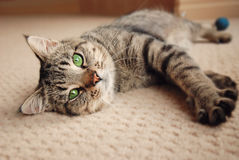 Kitten stretched out on carpet Stock Photos