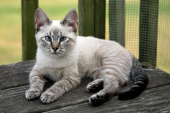 Kitten with striking blue eyes Stock Photography