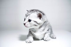 Kitten striped baby with a silver color. Stock Images