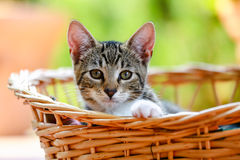 Kitten. Striped kitten in a basket Royalty Free Stock Images