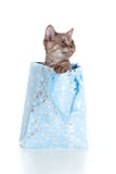 Kitten striped british in shopping bag Stock Image