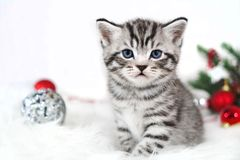 Kitten striped cute sitting under Christmas tree Royalty Free Stock Images