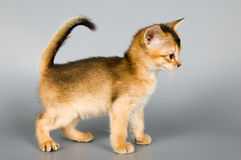 Kitten in studio. Kitten whom the first time poses in studio Stock Photos