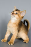 Kitten in studio. Kitten whom the first time poses in studio Royalty Free Stock Photo