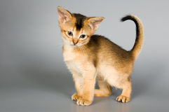 Kitten in studio. Kitten whom the first time poses in studio Royalty Free Stock Photos