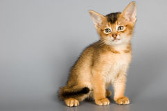 Kitten in studio. Kitten whom the first time poses in studio Stock Images