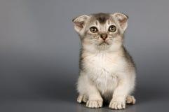 Kitten in studio. Kitten of breed Scottish lop-eared in studio Stock Images