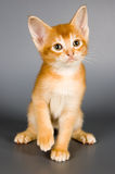 Kitten in studio. Kitten whom the first time poses in studio Royalty Free Stock Photography