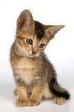Kitten in studio Royalty Free Stock Photography