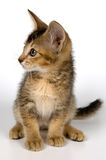 Kitten in studio. On a light background Royalty Free Stock Photography