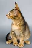 Kitten in studio. Kitten whom the first time poses in studio Stock Photography
