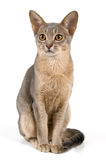 Kitten in studio. On a neutral background Royalty Free Stock Images