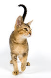 Kitten in studio. On a neutral background Stock Images