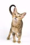 Kitten in studio Stock Image