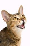 Kitten in studio Royalty Free Stock Photos