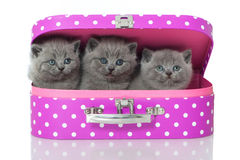Kitten in suitcase Stock Photography