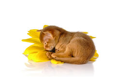Kitten on sunflower Royalty Free Stock Photography