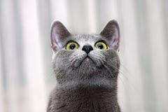 Kitten supreme commander. Royalty Free Stock Photo